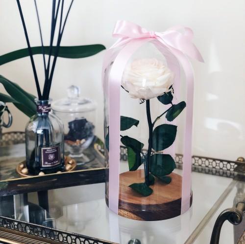 Mieganti rožė iš pasakos po kupolu (šampano balta)